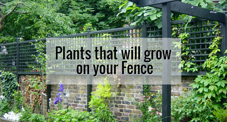 Covering your fences with creeping plants